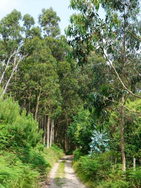 Dans les forêts d'eucalyptus entre Viveiro et Burela